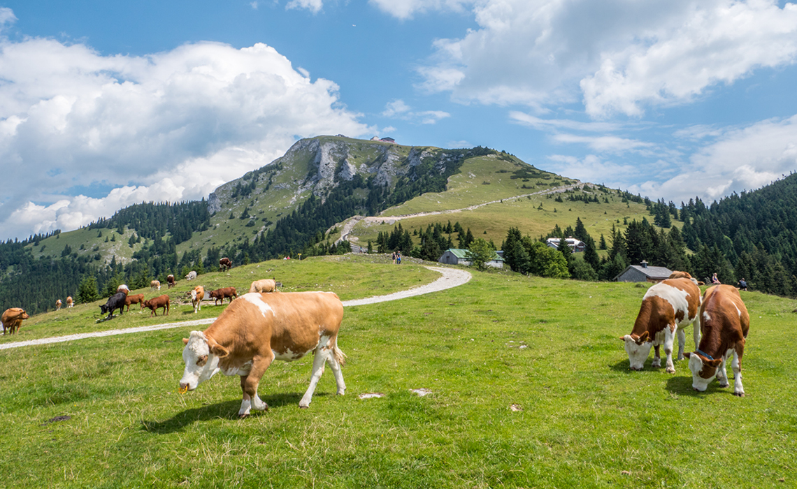 Cows, grass and Alps for the Woerle fine cheese dairy